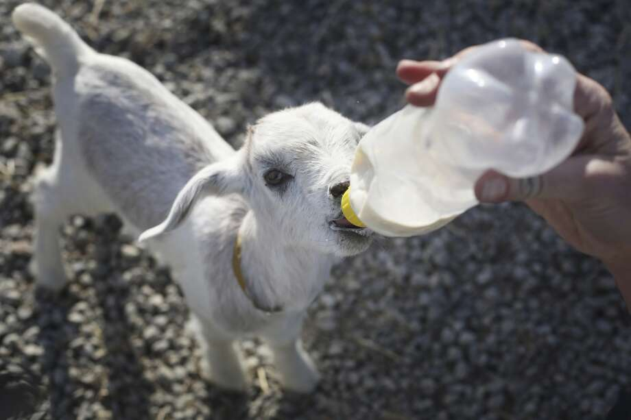 Goat herder at City Grazing Genevieve Church bottle feeds Mary Rose one of five baby goats that need a little extra care after the herd recently grew by 25. More babies are expected soon and the herd is expected to grow to over 100. Photo: Mike Kepka, The Chronicle