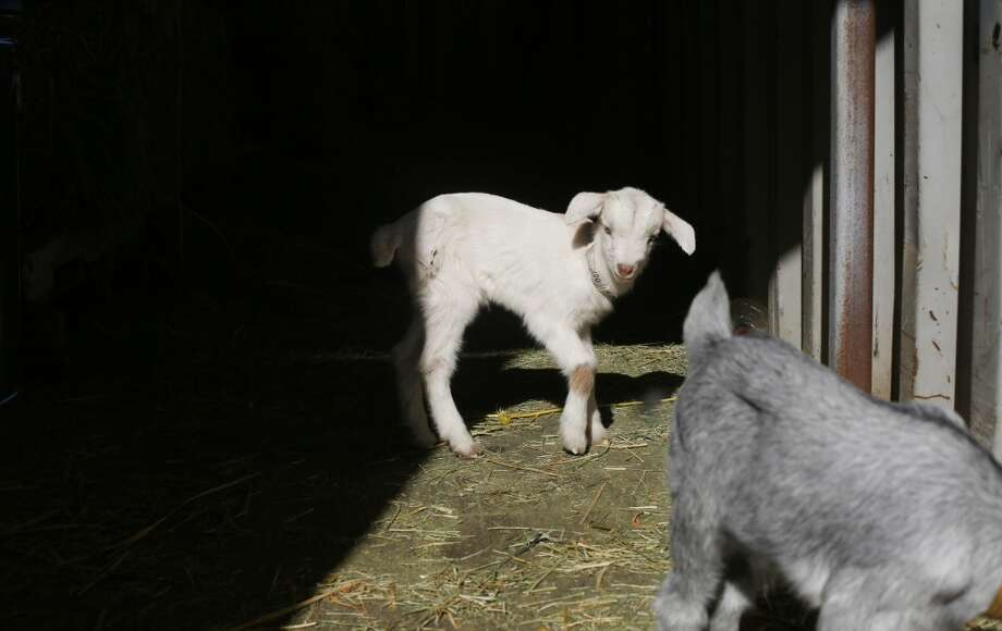 In a corral at City Grazing, Marvin and Augie, two of five baby goats that need extra care, wait for goat herder Genevieve Church to feed and care for them while the rest of the 25 new babies graze with the mothers in a nearby pasture. Photo: Mike Kepka, The Chronicle