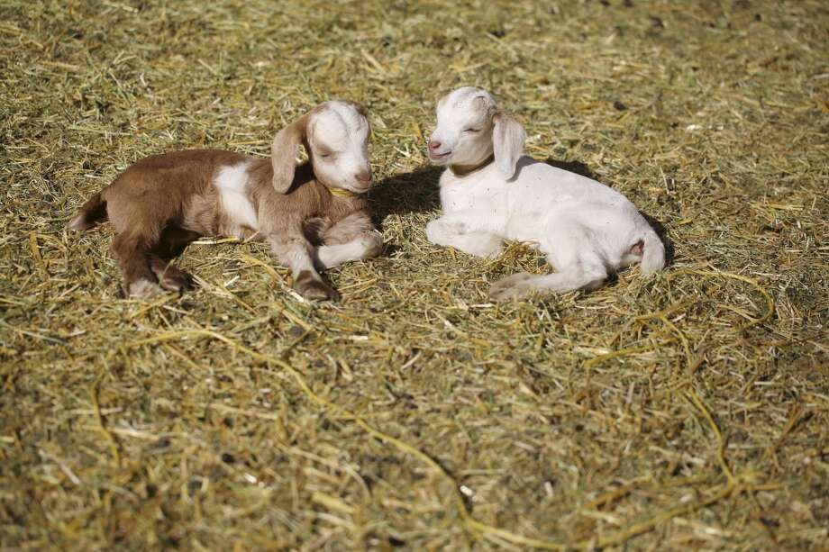 Healthy baby goats Katy Perry and Miley Cyrus, named for their loud vocal skills, are two of the 25 new babies born at City Grazing this past month. Photo: Mike Kepka, The Chronicle