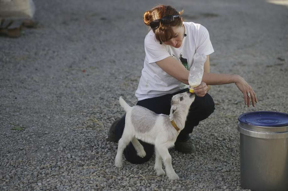 Goat herder at City Grazing Genevieve Church bottle feeds Mary Rose. Photo: Mike Kepka, The Chronicle