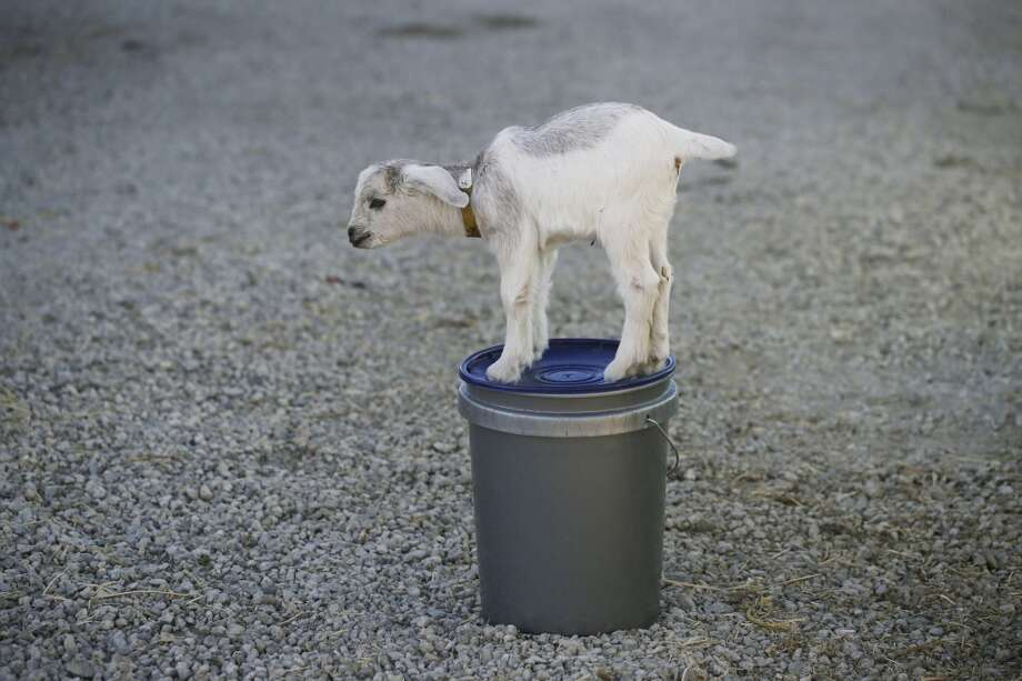 Baby goat Mary Rose plays on a feeding bucket at City Grazing in San Francisco. Photo: Mike Kepka, The Chronicle