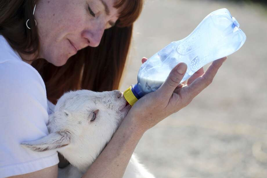 Goat herder at City Grazing Genevieve Church bottle feeds Spock one of five baby goats that needed a little extra care after the herd recently grew by 25. More babies are expected and the herd is expected to grow to over 100 soon. Photo: Mike Kepka, The Chronicle