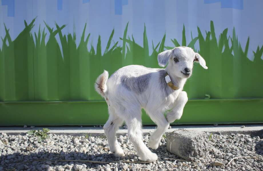 Mary Rose, one of five baby goats that need extra care at City Grazing, plays in the yard. Photo: Mike Kepka, The Chronicle
