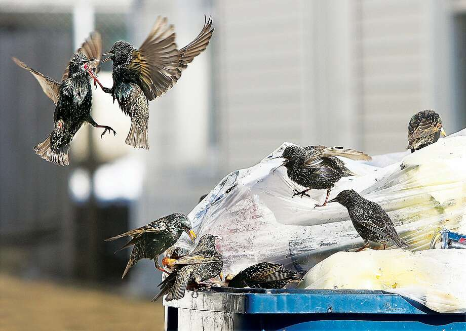 Give me your lunch! There's plenty to go around after sharp beaks puncture a plastic garbage bag stuffed with food scraps in Alton, Ill., but the resident bully has to pick a fight anyway. Photo: John Badman, Associated Press
