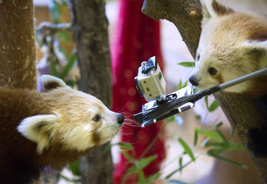 A GoPro® camera is highly recommended to catch all the action at the Extreme Red Panda Games at the Knoxville (Ky.) Zoo. Thrill to the Climbing Down the Tree event, the Eating Bamboo event and the Climbing Back Up the Tree  and Going to Sleep event. Photo: Adam Lau, Associated Press