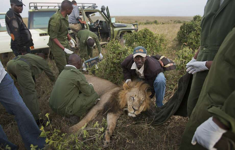 Sweet dreams, Simba:The same lion after the tranquilizers kicked in. (Nairobi National Park.) Photo: Ben Curtis, Associated Press