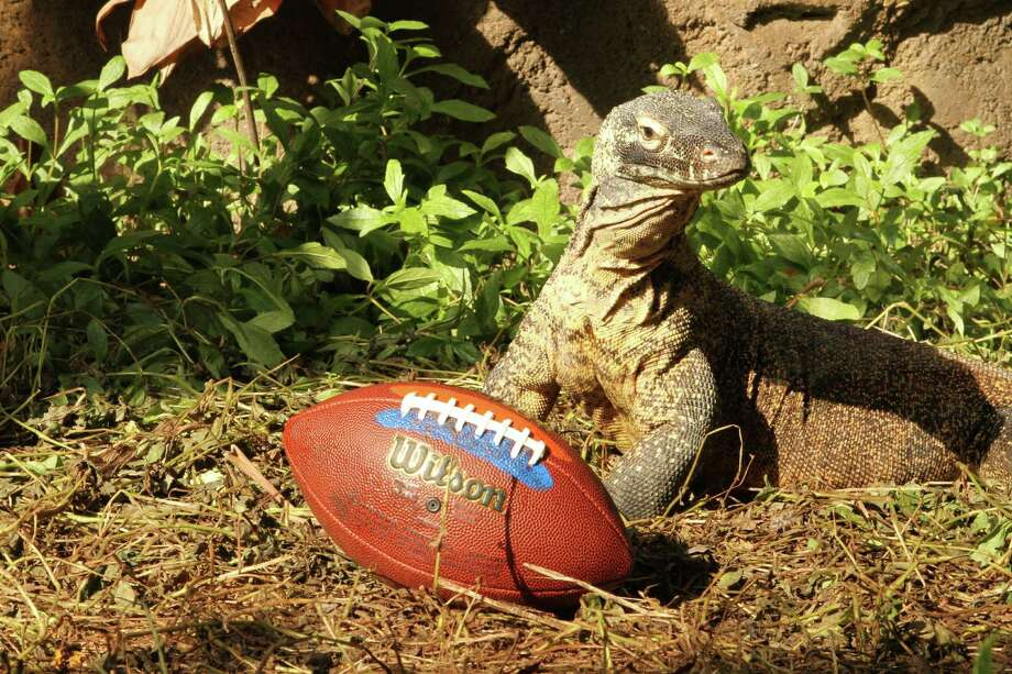 Murphy, above, and his pal Diablo have named their Super Bowl winner: the Denver Broncos. The Komodo dragons are the newest residents of the Rainforest Pyramid at Moody Gardens in Galveston. Photo: Moody Gardens