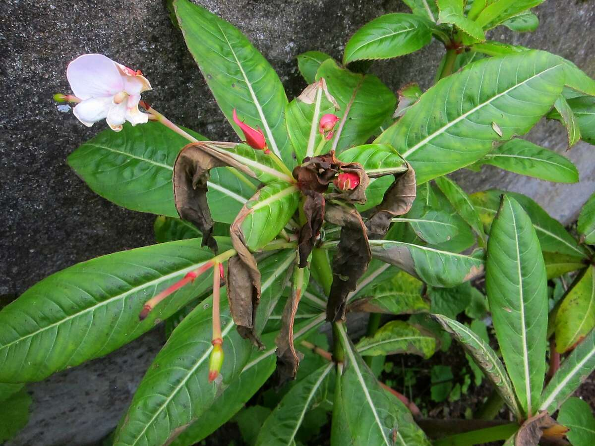 A poor man's rhododendron whose leaves have been blackened by frost. Though unsightly, leaves should remain on the plant until its usual spring pruning time, as frost-damaged plants often stage comebacks.