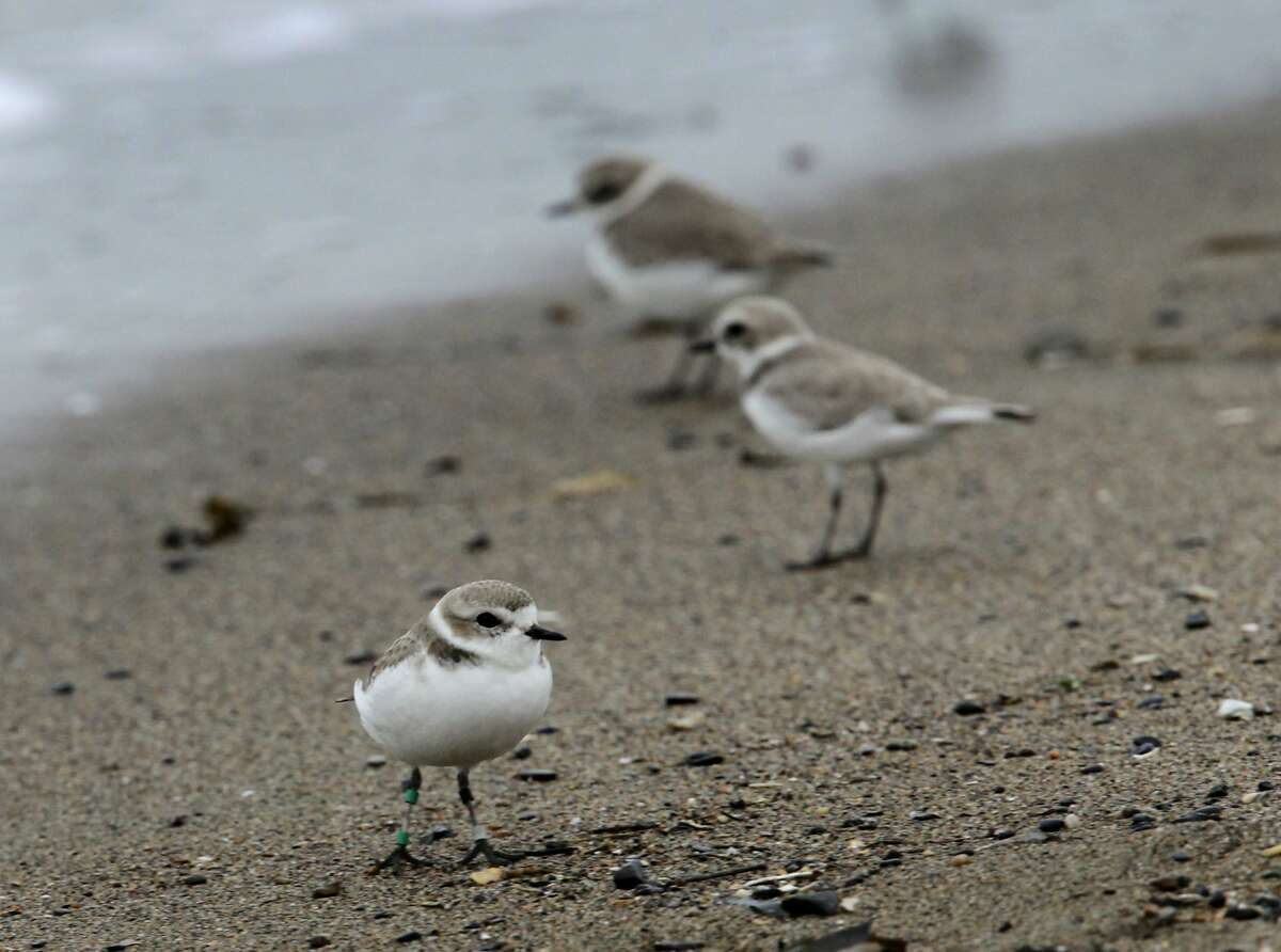 Snowy plovers, including one with identification bands on its leg, congregate near the shore at Crown Memorial State Beach in Alameda, Calif. on Tuesday, Jan. 28, 2014. A small flock of the endangered shorebird have been gathering along the popular beach in the morning hours for the past few months.