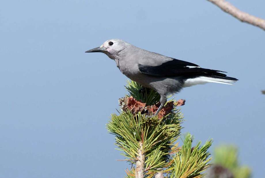 Whitebark pines, already under seige by a lethal disease brought to the continent on imported seedlings, now face a new threat from mountain pine beetles, which have expanded into high-elevation forests due to warmer temperatures brought on by climate change. Above, a Clark's Nutcracker sits atop a Whitebark Pine in Crater Lake National Park, Oregon. Photo courtesy of Frank D. Lospalluto/Flickr Photo: Contributed Photo, Contributed / New Canaan News Contributed