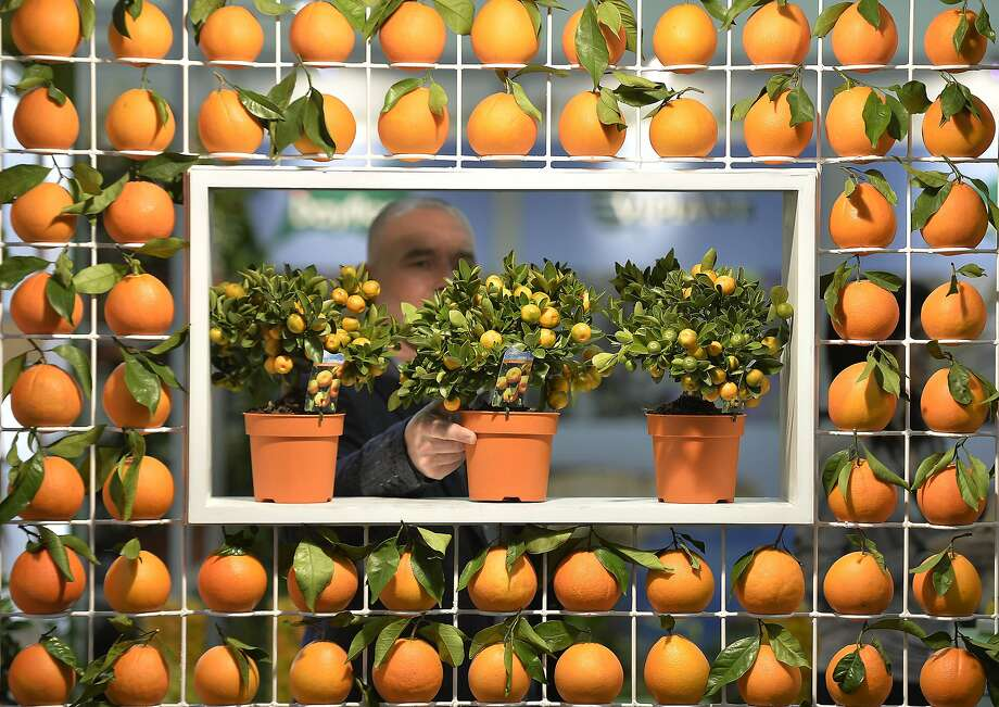 Appeal of citrus: A visitor inspects juvenile lemon trees from Portugal at one of the world's leading horticultural trade fairs - IPM in Essen, Germany. Photo: Martin Meissner, Associated Press