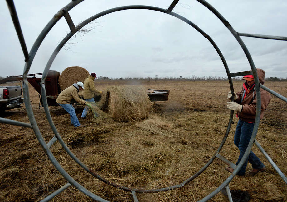 From left, Jake Jannise, Charlie Edwards, and J Storme Jannise prep a hay ring for cattle to feed from on Tuesday at the Jannise's farm in Hamshire.   Photo taken Tuesday, January 28, 2014 Guiseppe Barranco/@spotnewsshooter Photo: Guiseppe Barranco, Photo Editor
