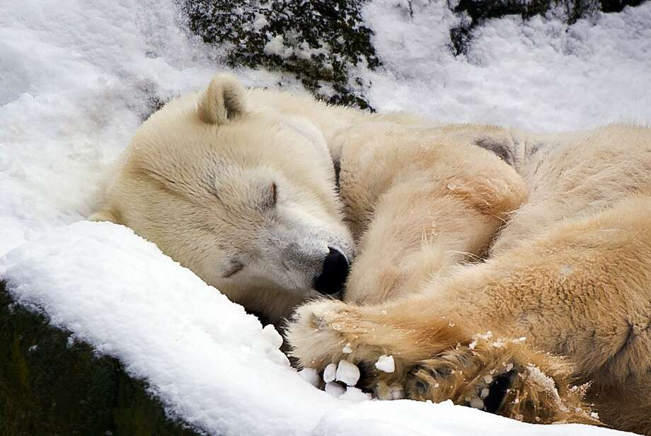 Wake me up when it's spring:A polar bear snoozes in the snow at the Berlin Zoo. Photo: Daniel Naupold, AFP/Getty Images