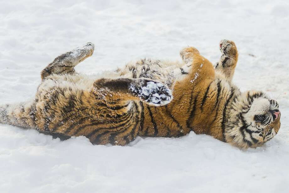 Snow isn't just for eating, of course:It's also for rolling in and making silly poses. (Nyiregyhaza Animal Park in Nyiregyhaza, Hungary.) Photo: Attila Balazs, Associated Press