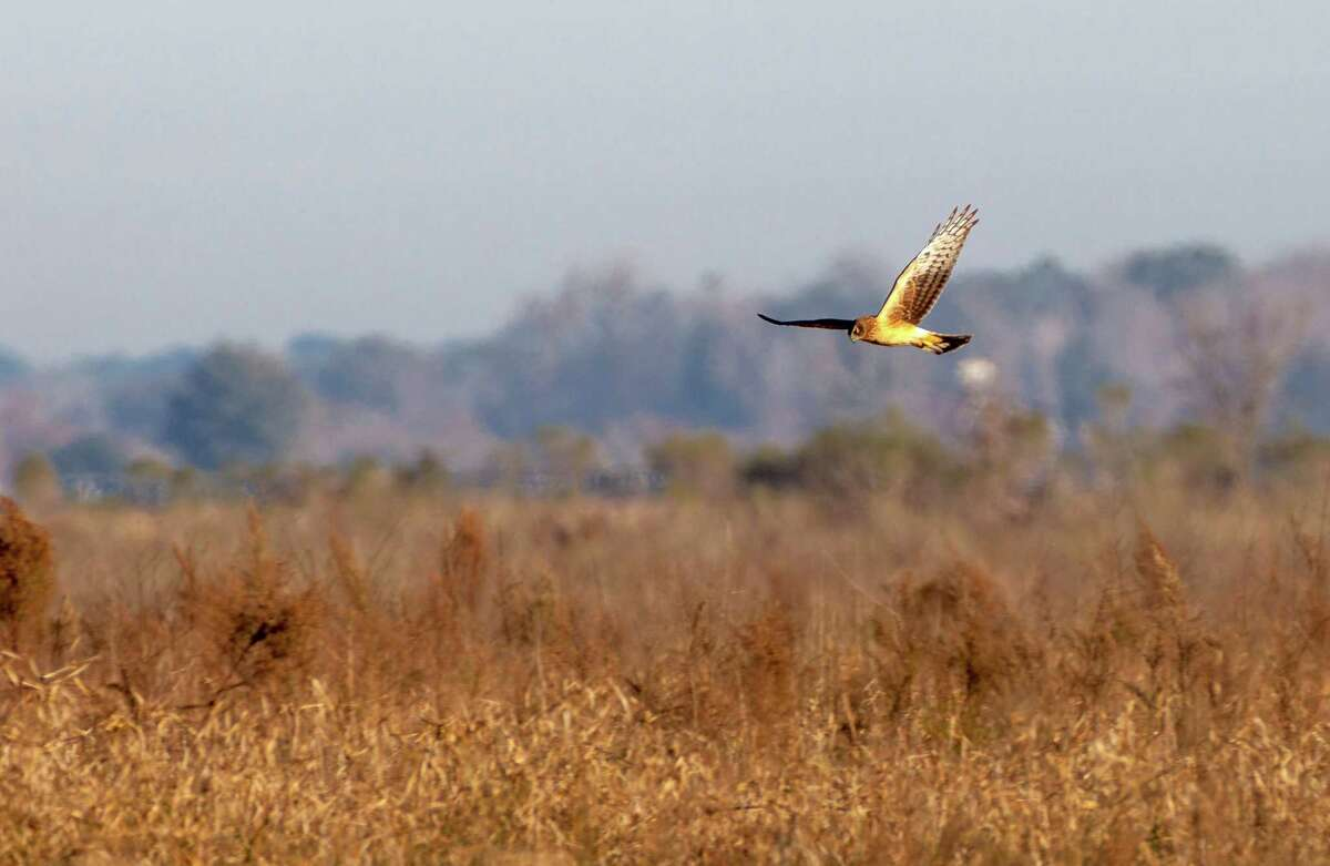 A Harrier hawk hunts in the Katy Prairie Conservancy in Waller.