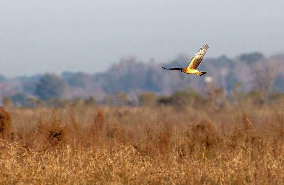 A Harrier hawk hunts in the Katy Prairie Conservancy in Waller. Photo: Craig Hartley, Freelance / Copyright: Craig H. Hartley