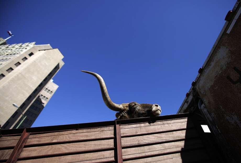 A Texas Longhorn makes its way up a ramp and into a trailer after a cattle drive in downtown in 2010. Photo: Kin Man Hui, Express-News