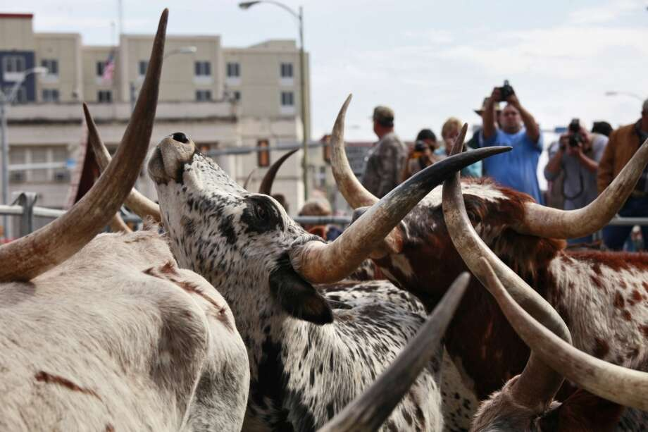 Longhorns wait to be loaded into trailers after they walked along Houston Street in downtown San Antonio in 2011. Photo: Lisa Krantz, Express-News