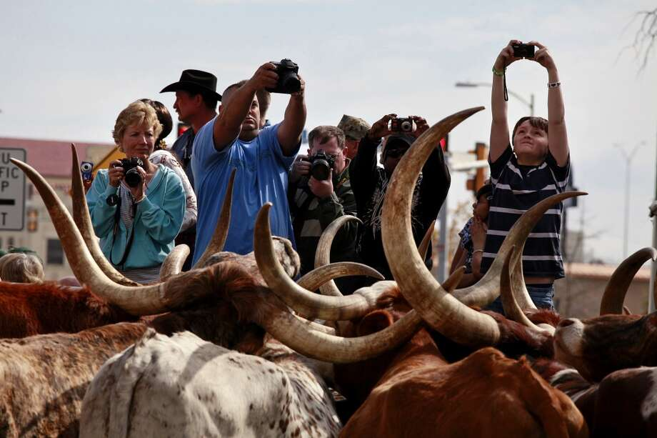 Spectators photograph Longhorns waiting to be loaded onto trailers after the cattle drive in 2011. Photo: Liza Krantz, Express-News