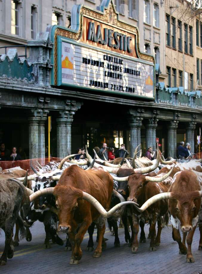 Thirty five Longhorn cattle mosey before the Majestic Theater in 2008. Photo: Bob Owen, Express-News