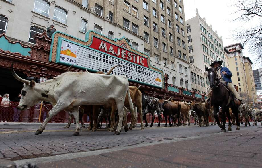 Cattle pass the Majestic Theatre in 2012. Photo: Kin Man Hui, Express-News