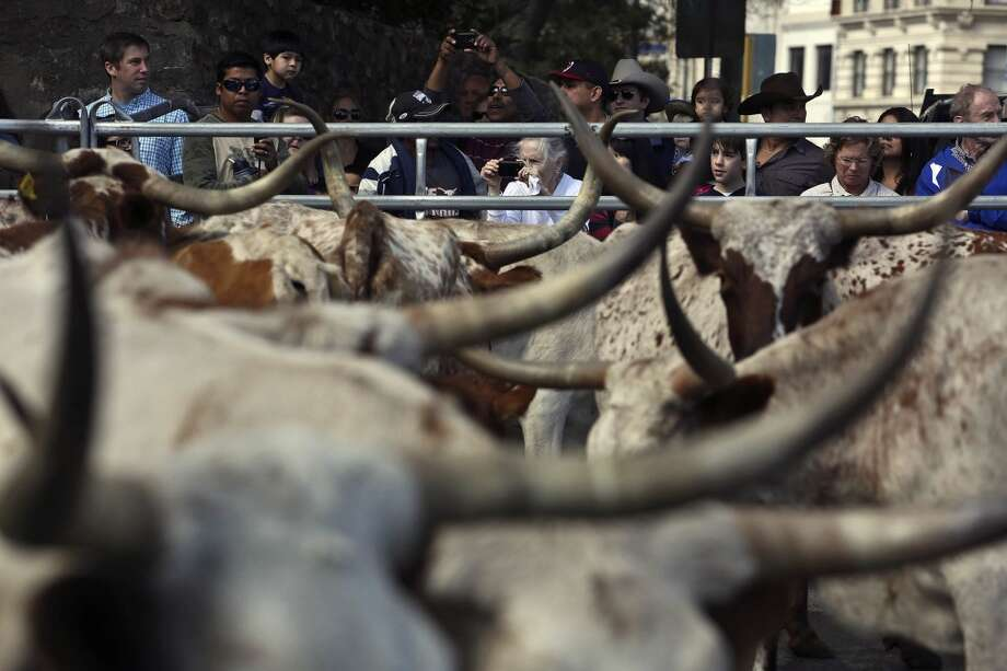 Spectators watch as Longhorns are loaded into trailers after participating in the cattle drive on Houston Street in 2013. Photo: Lisa Krantz, Express-News