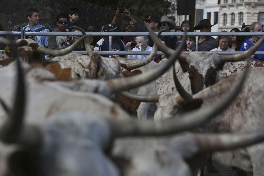 Spectators watch as Longhorns are loaded into trailers after participating in the Cattle Drive on Houston Street through downtown San Antonio on Saturday, Feb. 2, 2013. Photo: Lisa Krantz, Express-News