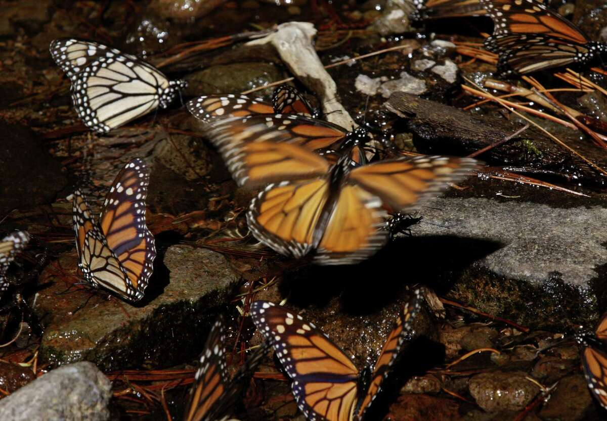 The existence of Monarch butterflies, shown in Mexico, is threatened, scientists say, by manmade changes in their main food source and protective habitat.