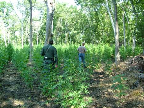 Aug. 29, 2013: A marijuana growing operation worth $1.5 million was discovered near Sealy after sources reported it to the Austin County Sheriff's Office.