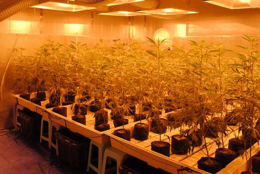 Aug. 2, 2013: Police seized about 700 marijuana plants, with a value of approximately $2.5M, when they raided a suspected grow house in Pasadena.