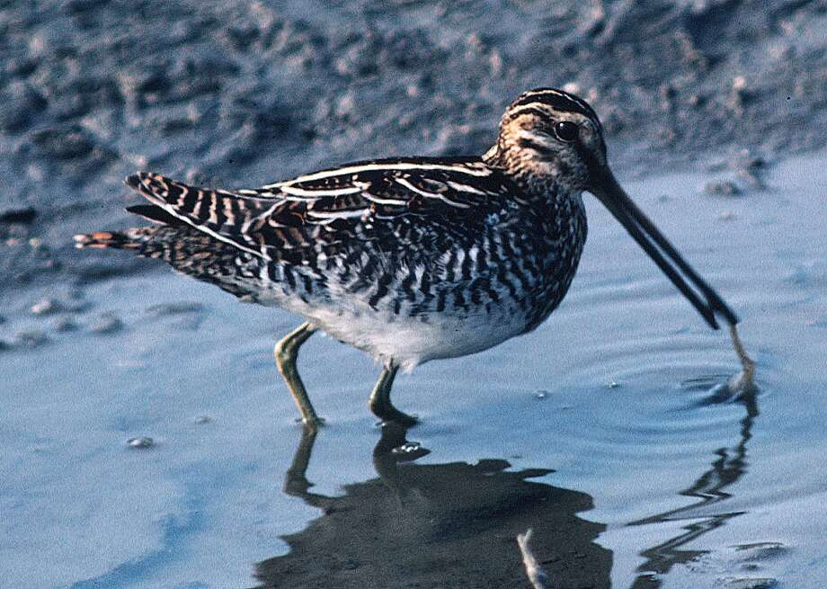 Texas' coastal prairie hosts large wintering populations of  Wilson's  snipe that use their long bills to probe moist soils for meals of  invertebrates such as worms and insects.Click through the slideshow to see which other animals you can shoot in Texas, and when you're allowed to shoot them. Photo: Houston Chronicle
