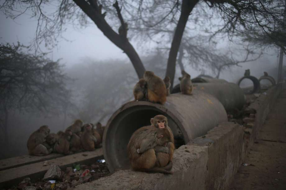 Pipe panhandlers: Monkeys huddle for warmth by a roadside in New Delhi as they wait for charitable Hindus to feed them. Hindus 