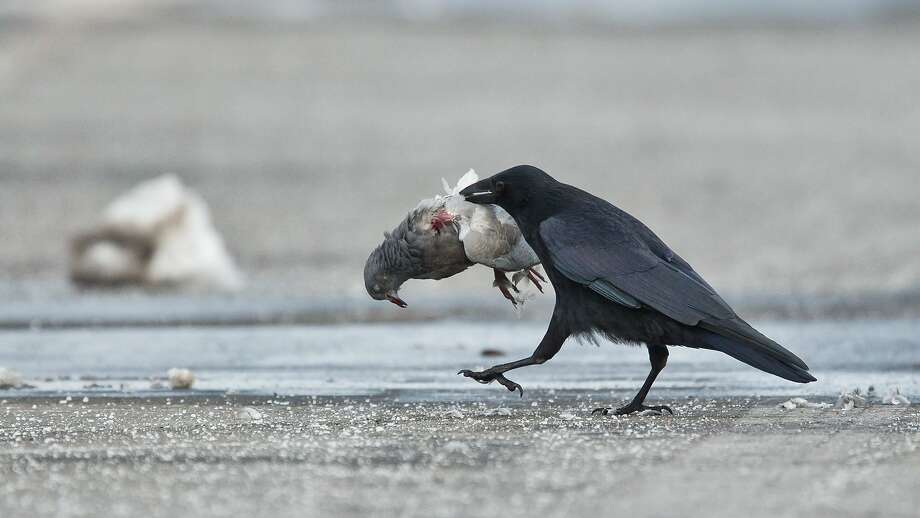 Big appetite:A crow (or raven possibly) carries away a pigeon that was injured when it flew into window pane in   Nuremberg, Germany. Photo: Daniel Karmann, AFP/Getty Images
