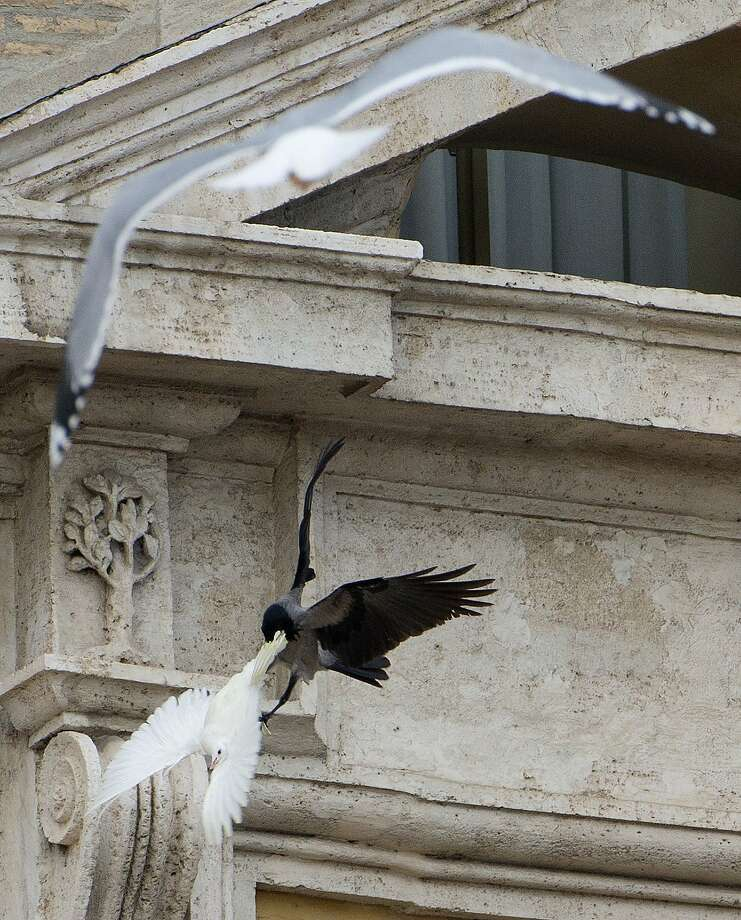 Easy targets: A white dove that was freed by children and Pope Francis during his Angelus prayer, is attacked by a crow in St. 