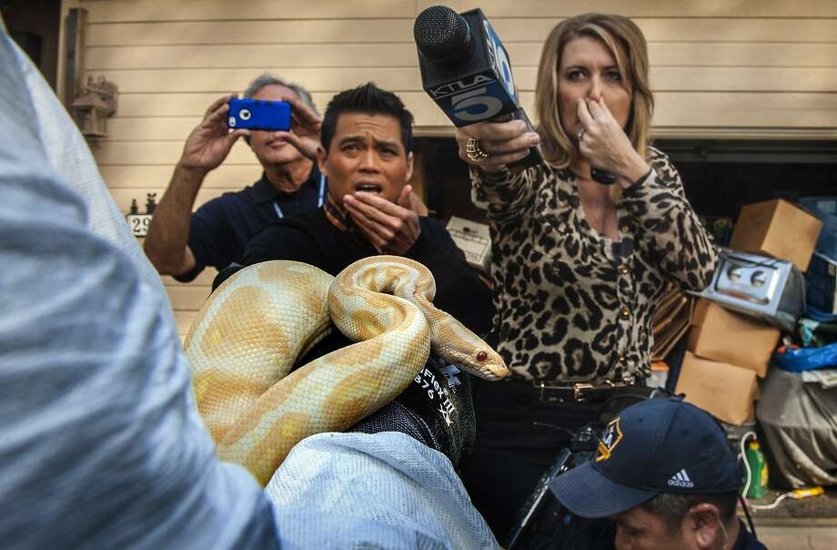 A nose for news: While interviewing Sondra Berg of the Santa Ana, Calif., police, television reporters react to a stench emanating from a house full of dead and decaying snakes. Berg holds an albino ball python, one of the few surviving snakes in the home. Photo: Bruce Chambers, Associated Press