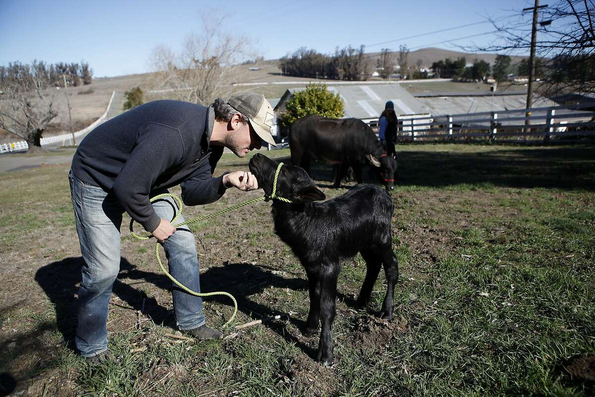 Farm owner Andrew Zlot scratches the chin of 2 day old Zoey as she gets to walk around in a grassy area for the first time at Double 8 Dairy in Petaluma, CA, Wednesday, January 22, 2014.