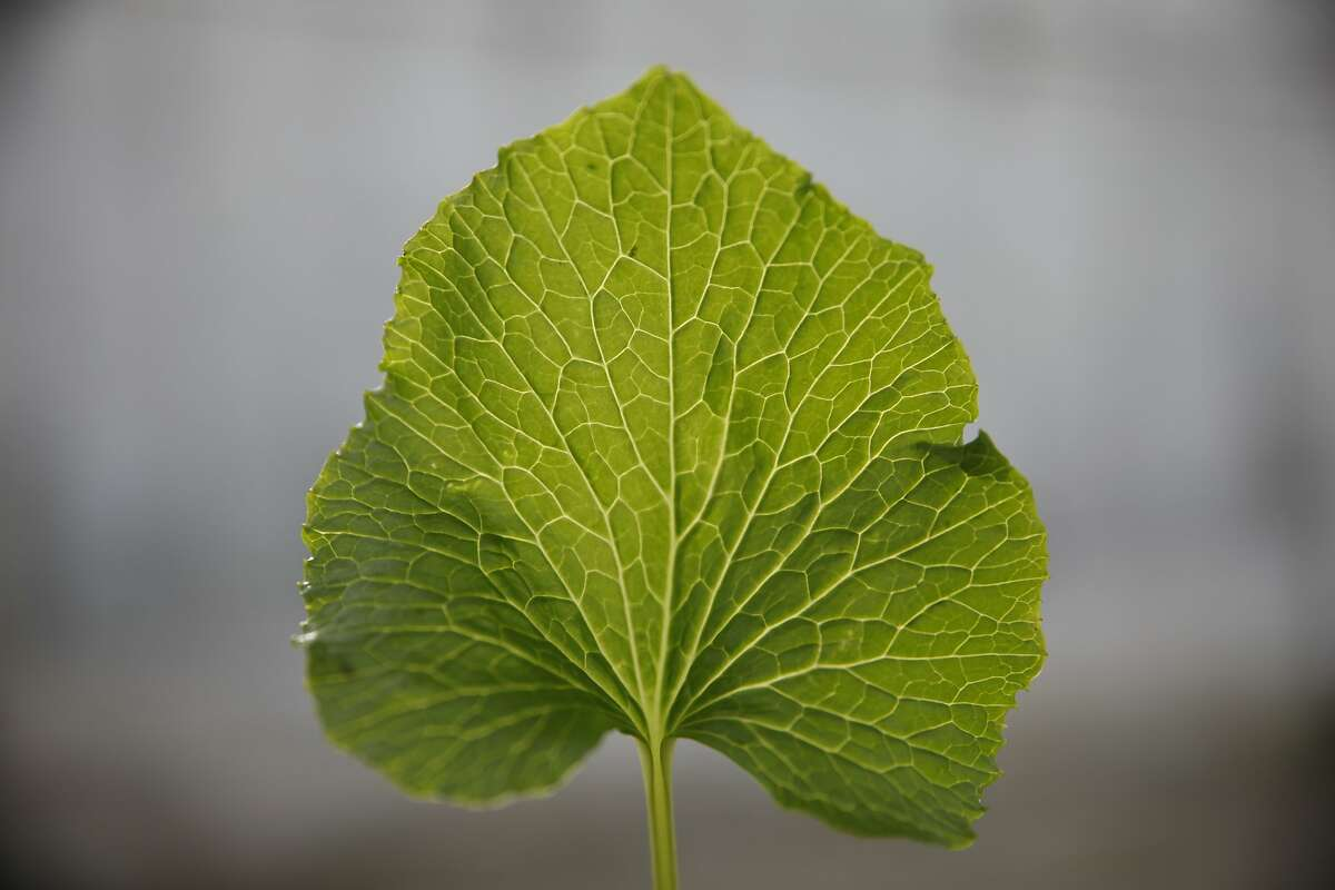 A wasabi leaf is seen at Half Moon Bay Wasabi Co. on Monday, January 27, 2014 in Half Moon Bay, Calif. The leaves are a secondary product of the Wasabi plant.