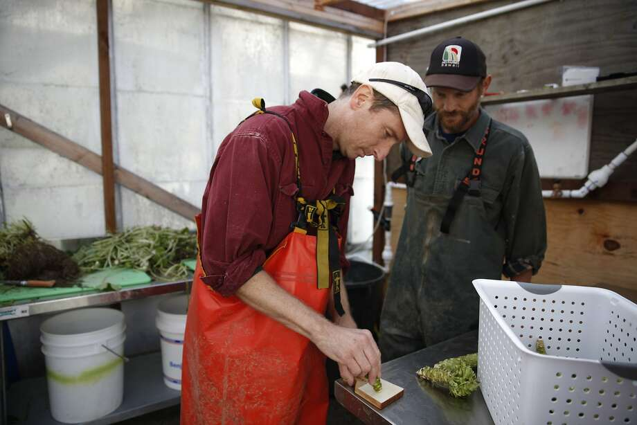 Jeff Roller (left) grates a fresh wasabi rhizome at the Half Moon Bay Wasabi Co. under the watchful eye of co-owner Tim Hall. Photo: Lea Suzuki, The Chronicle
