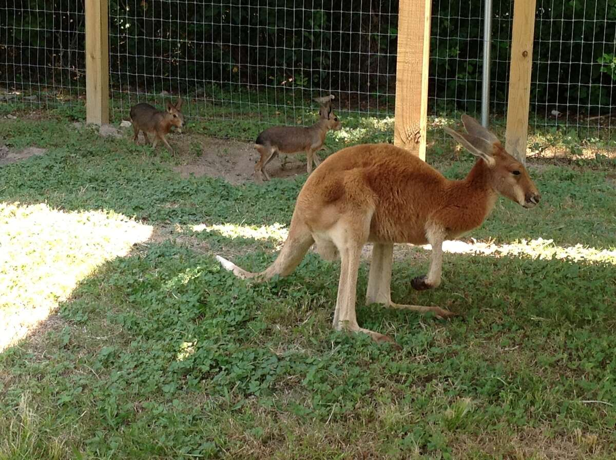 Sydney, a 2-year-old male kangaroo, was killed by roaming dogs that broke into his outdoor enclosure. (Courtesy photo)