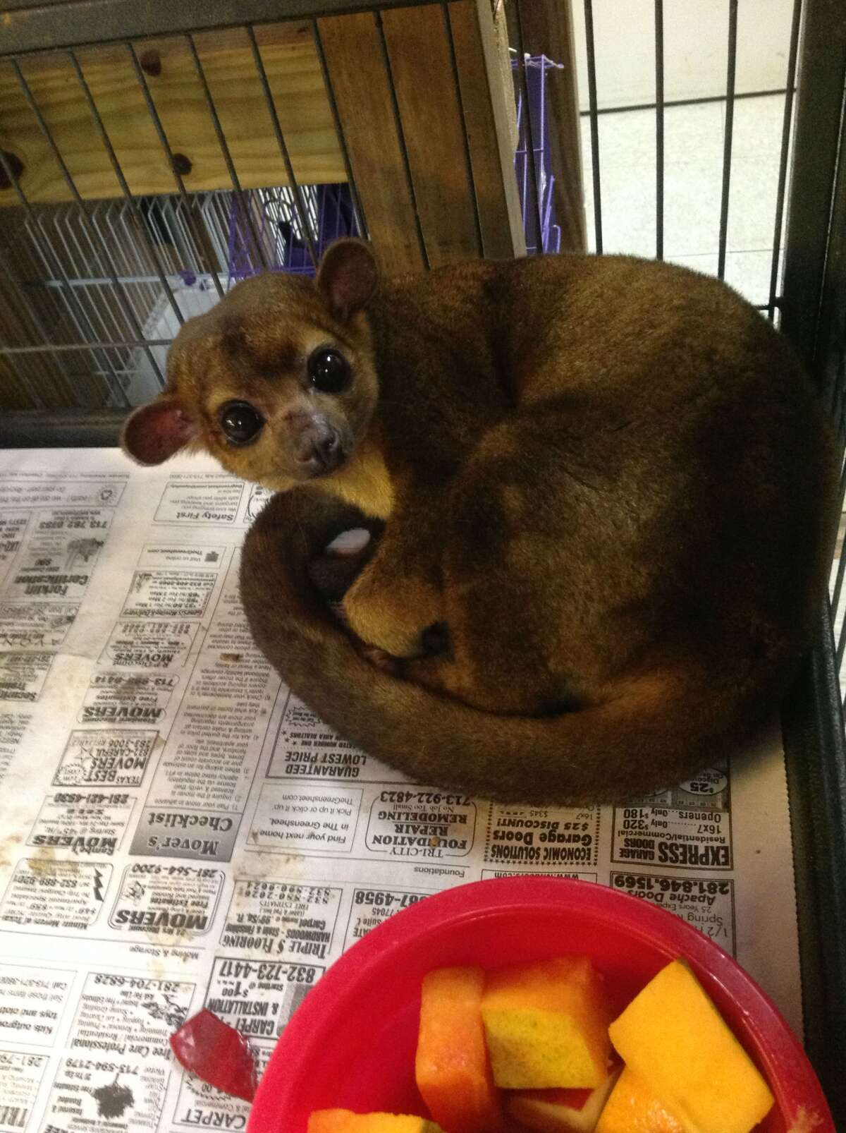 This kinkajou lives with Suzette Stidom, who lost three of the small animals to roaming dogs that raided an outdoor enclosure. (Courtesy photo)