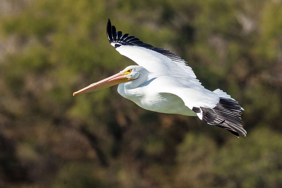 An American White Pelican takes flight at the Mitchell Lake Audubon Center on Sunday, Jan. 26, 2014.  Photo by Marvin Pfeiffer / Prime Time Newspapers Photo: MARVIN PFEIFFER, Marvin Pfeiffer / Prime Time New / Prime Time Newspapers 2014