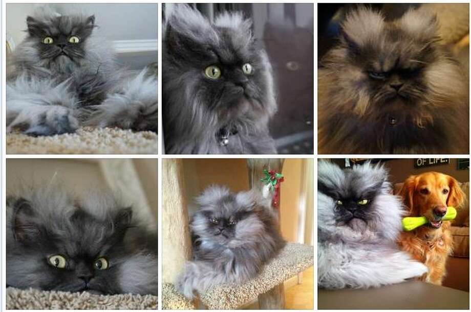 Seattle's claim to cat fame: Colonel Meow. (Shown in this screen grab from  his Facebook page) Photo: Ellison, Jake