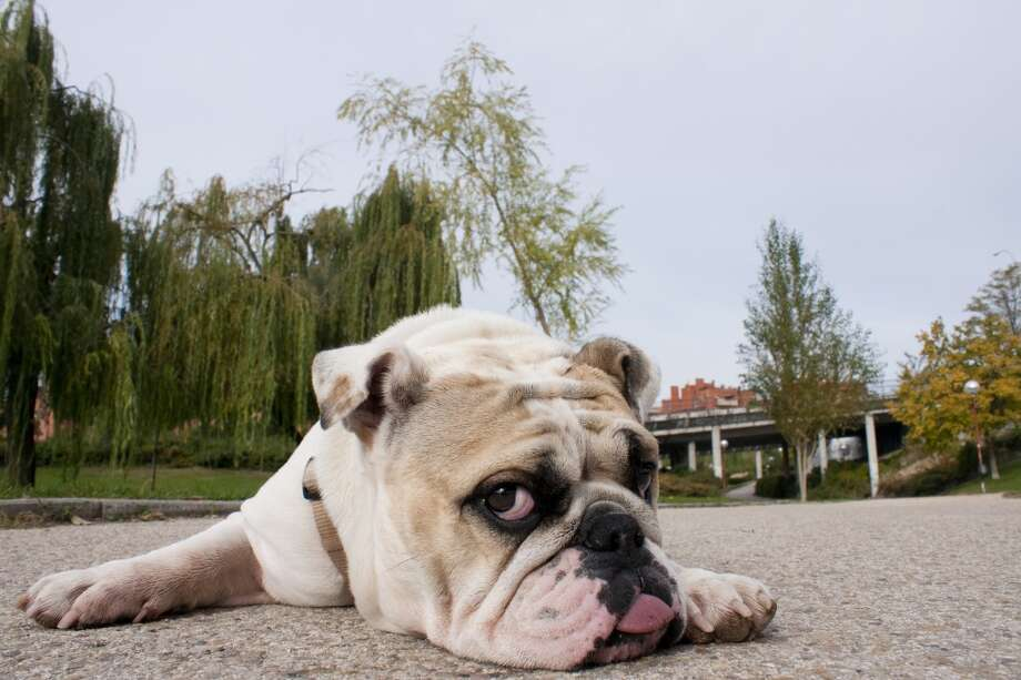 The most popular dog breeds in San Francisco are...5. Bulldog Photo: Juana Aranega, Getty Images/Flickr RF