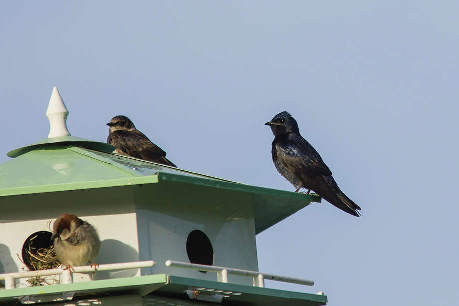 Purple Martin scouts began arriving in the Houston area in mid-January.  Now is the time to clean out existing martin houses or install new houses.  Photo Credit:  Kathy Adams Clark.  Restricted use. Photo: Kathy Adams Clark / Kathy Adams Clark/KAC Productions