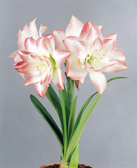 Amaryllis can be grown in the garden for spring blooms. / handout