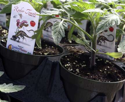 A New Tomato Is Riding Into Town San Antonio Express News