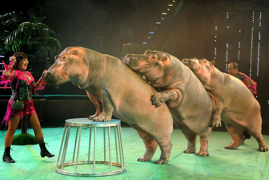 Queue the hippos:Ludmila and Tofig Akhundov coax their portly performers into a conga line at a circus in Minsk, Belarus. Photo: Viktor Drachev, AFP/Getty Images