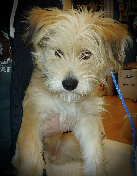 Next up is Kerri, a 7 month old Cairn Terrier mix  Kerri was a stray, so we don t know much about him, but he s really cute and really sweet natured.  He will do tricks for treats, but doesn t want to be in the circus, preferring a real home instead. Photo: --
