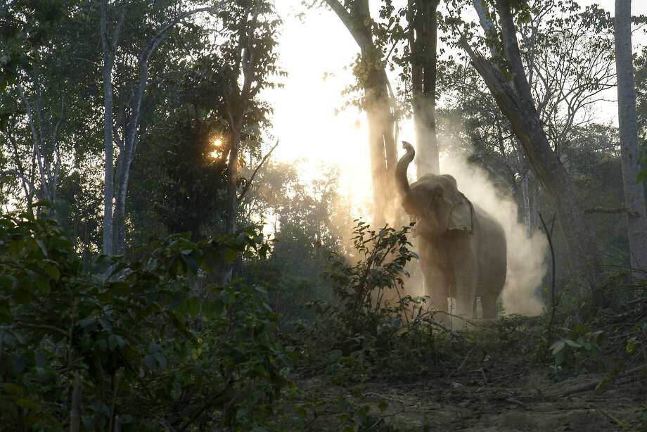 Hitting the showers:An elephant splashes dirt on itself after a day of hard work at Maing Hint Sal elephant logging camp, Myanmar. The government-owned camp of 62 elephants and about 330 workers could soon be closed because of forest depletion. Local officials blame illegal loggers for the the vanishing forest, but some people cite government mismanagement and corruption. Photo: Ruben Salgado, Getty Images