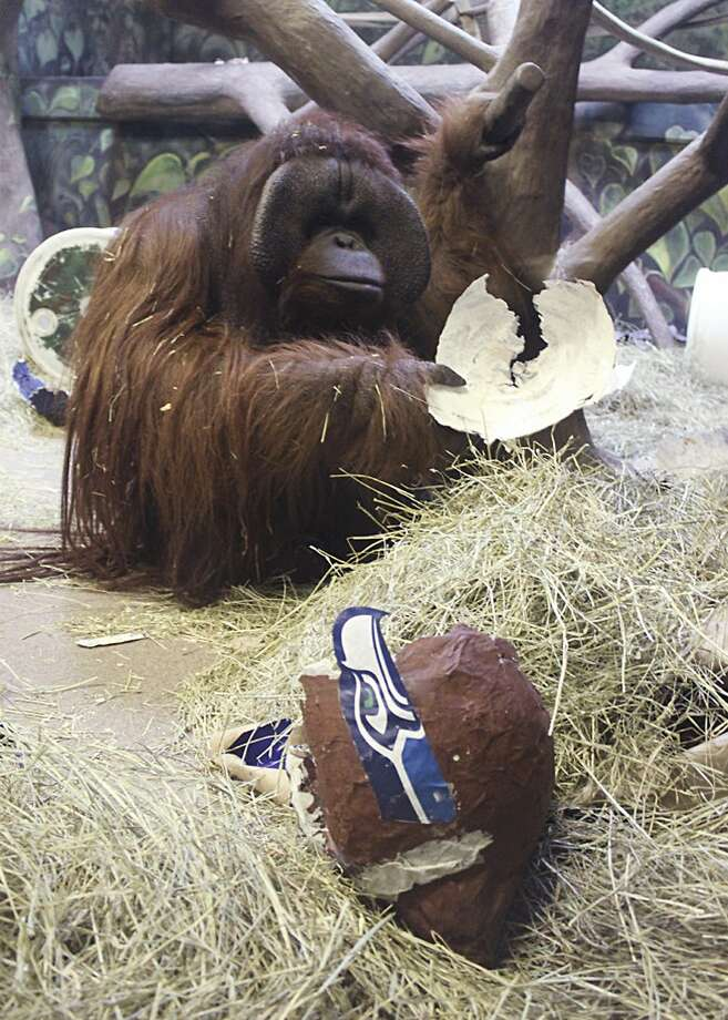 Betting on the Broncos? Don't say you weren't warned:At the Hogle Zoo in Salt Lake City, Eli the prognosticating ape smashes a papier mâché Seahawks helmet that she 
